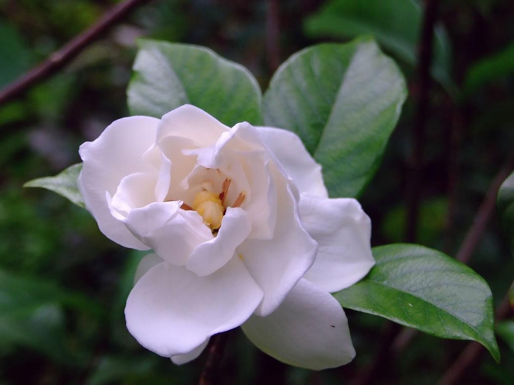 Gardenia Fortuniana