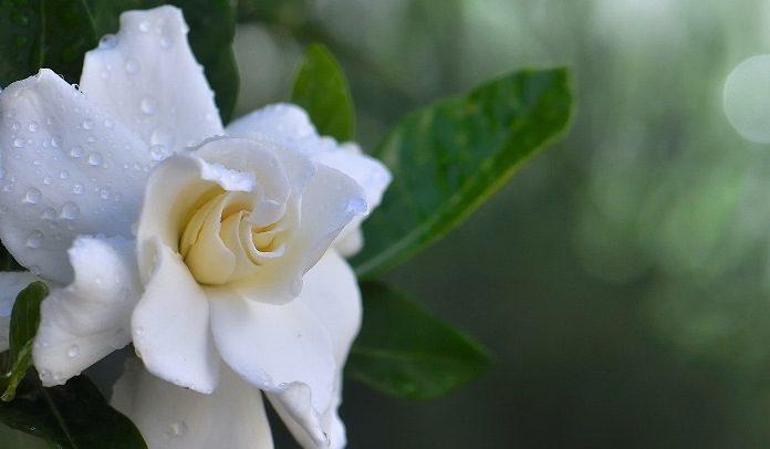 Цветок гардения фото