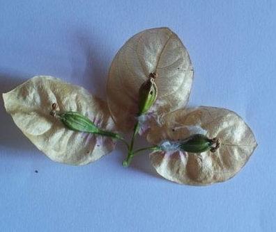 Коробочка с семенами Бунгевиллии