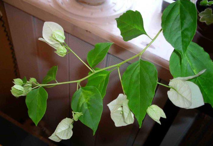 Листья Бугенвиллии фото