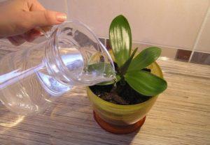 Полив орхидеи янтарной кислотой