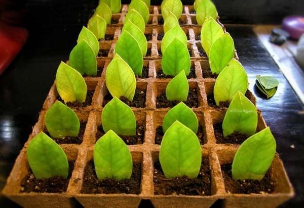 Размножение замиокулькасом листом пером