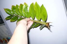 Размножение Замиокулькаса сложным листом