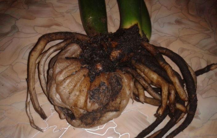 У Замиокулькаса гниют корни