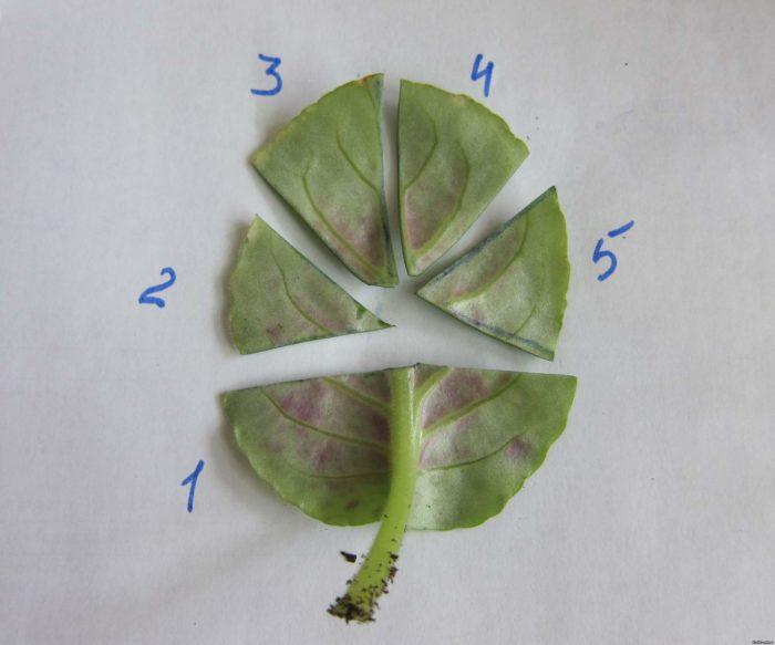 Как резать лист фиалки