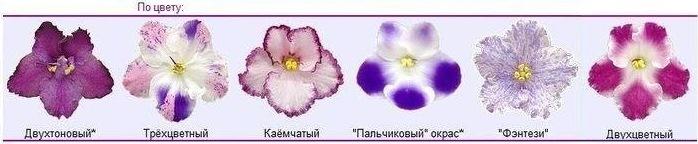 Классификация фиалок по цвету