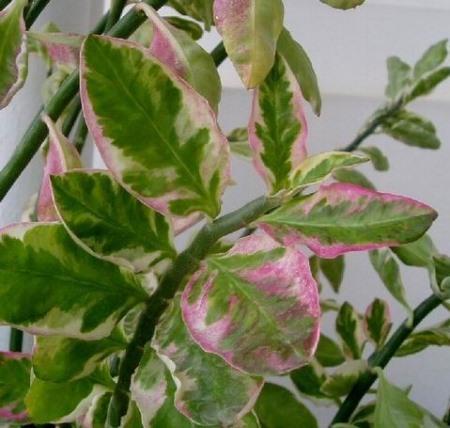 Листья педилантуса розовеют