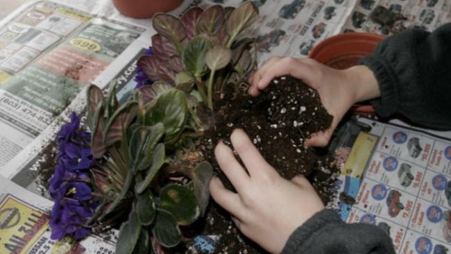 Пересадка фиалки с заменой почвы