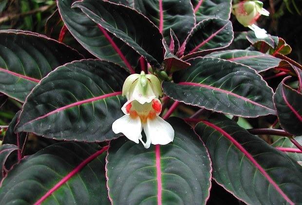 Бальзамин орхидейный