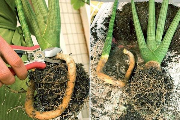 Размножение Сансевиерии делением корневища