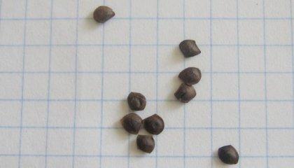 Семена стыдливой Мимозы