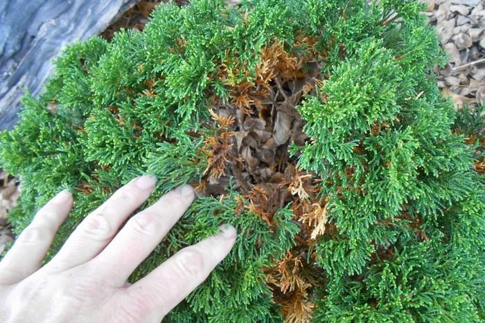 Желтеют и сохнут листья туи