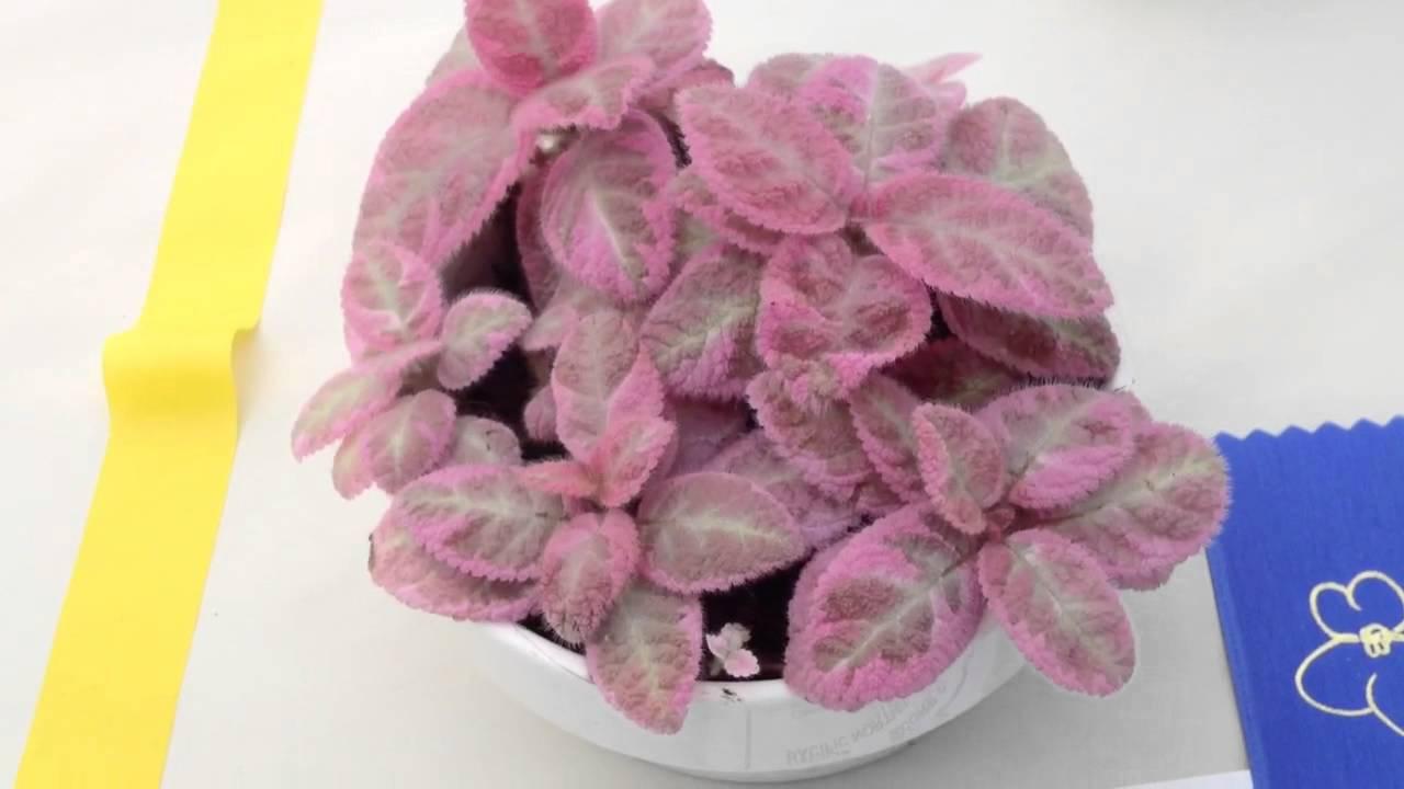 Эписция Розовый дым (Pink Smoke)