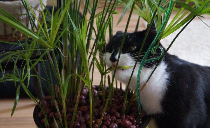 Кошка есть Циперус