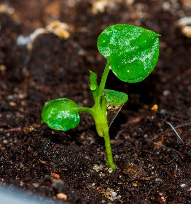 Выращивание Филодендрона из семян
