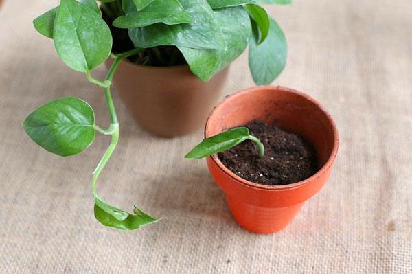 Размножение филодендрона листом