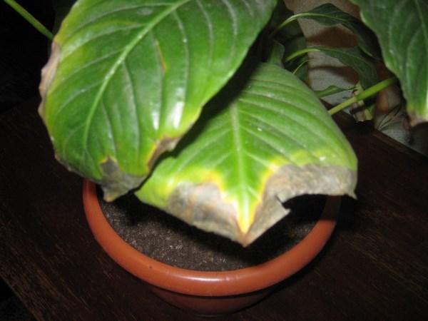Сохнут кончики листьев Филодендрона