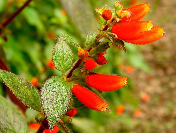 Колерия Трубкоцветковая