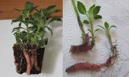 Размножение колерии делением корня