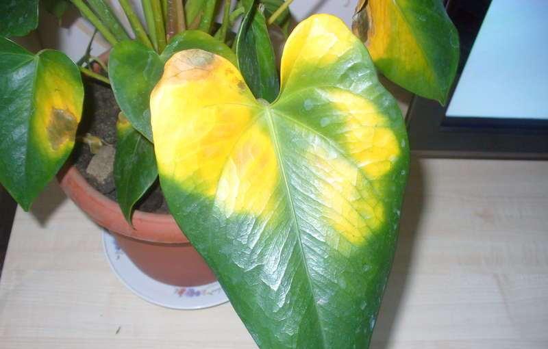 Листья Филодендрона желтеют у основания