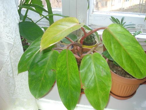 Желтеют листья Филодендрона
