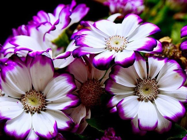 Цветение Цинерарии