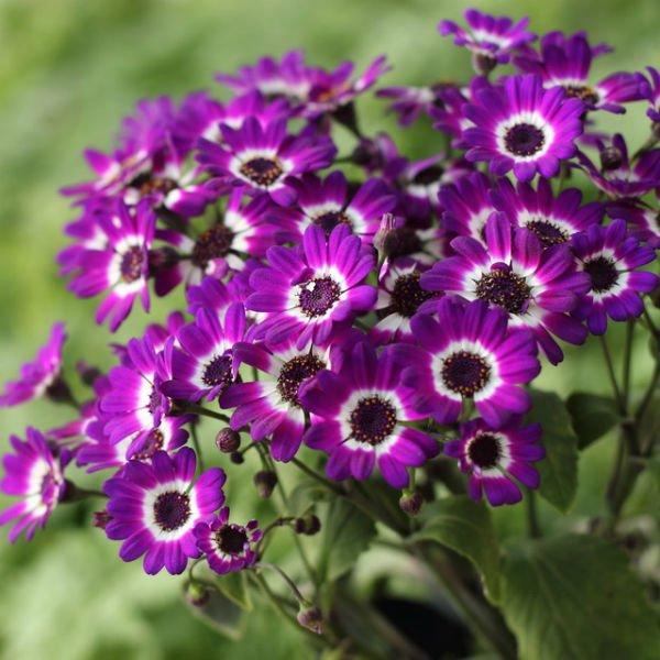 Цветущая Цинерария
