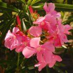 На фото олеандр розовый
