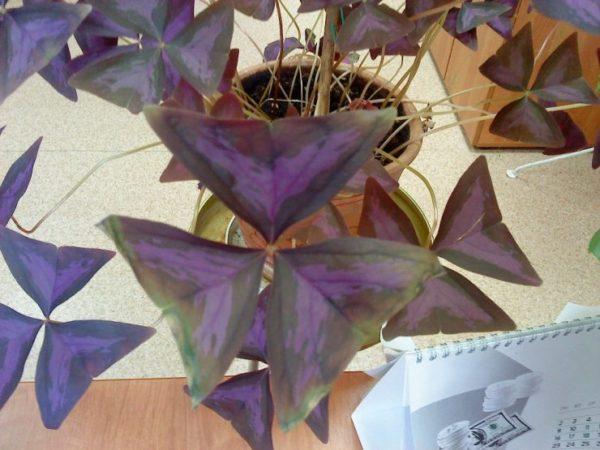 Листья Кислицы теряют цвет