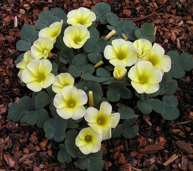 Кислица «Желтоватая» (Oxalis luteola)