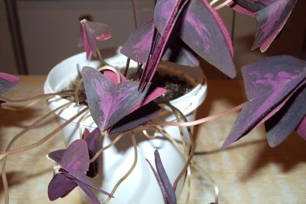 Листья Кислицы закрываются днём