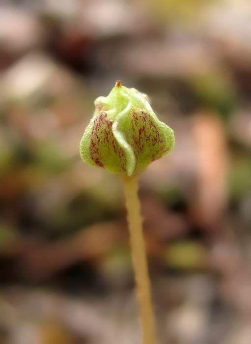 Коробочка с семенами кислицы