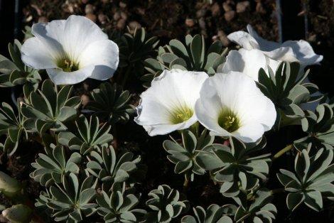 Оксалис Альба (Oxalis enneaphylla Alba)