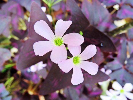 Цветение Оксалиса