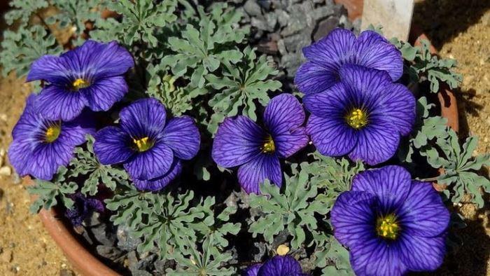 Oxalis Lacinata Seven Bells