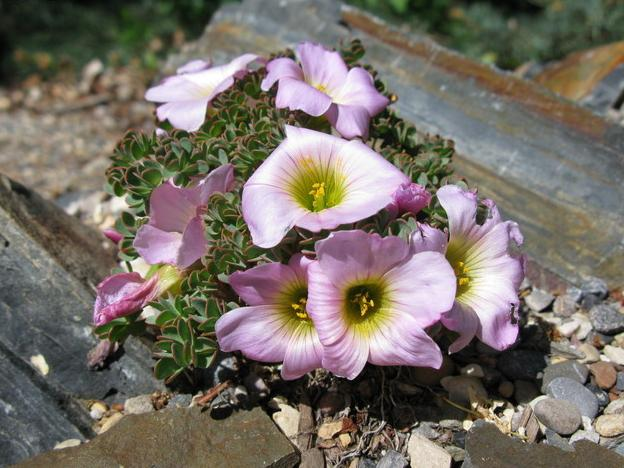 Oxalis Minutifolia