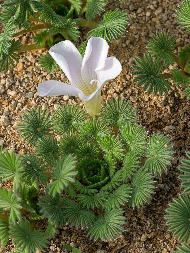Кислица Пальмифрон Oxalis palmifrons