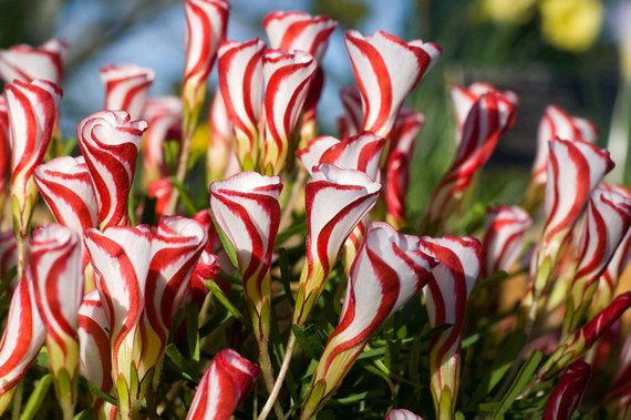 Кислица Пестроцветная или Разноцветная Oxalis versicolor