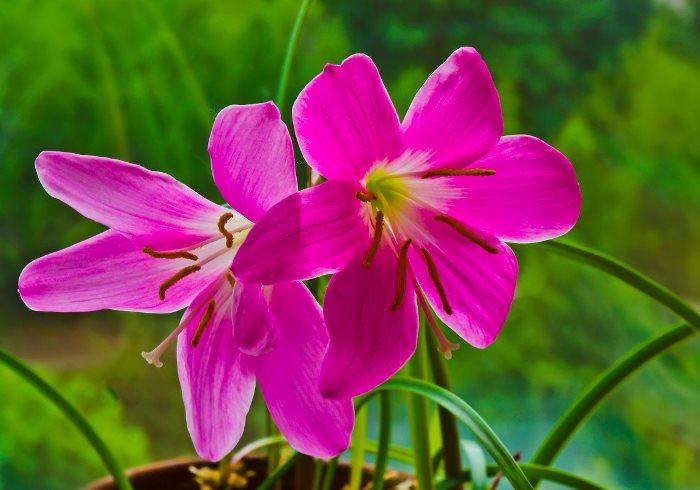 Зефирантус розовый