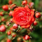 Роза «Gloria Mundi»