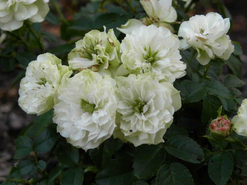 Роза Зеленый лед (Green Ice)