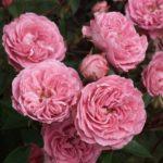 Роза Judy Fischer