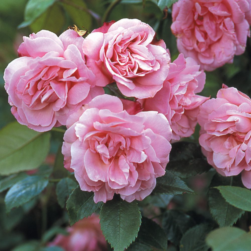 Китайская роза old blush