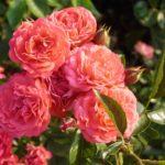 Роза Оранжевый Триумф (Orange Triumph)