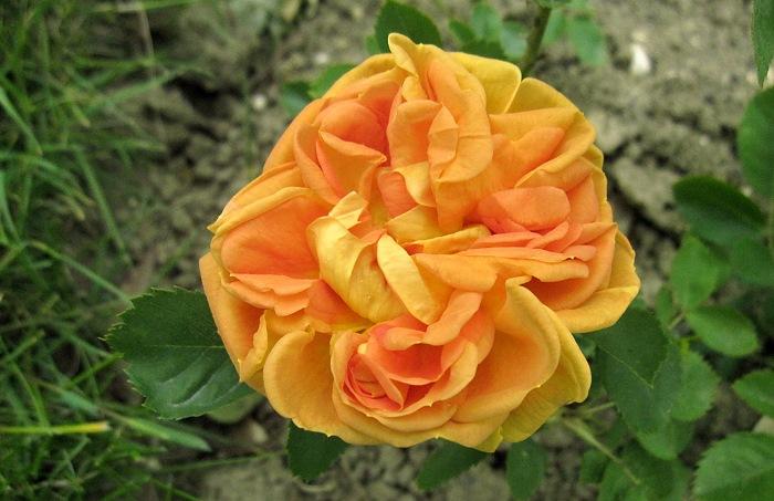 Роза Soleil d'Or