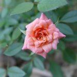 Роза Spice Drop