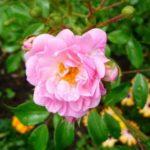 Роза «The Fairy»