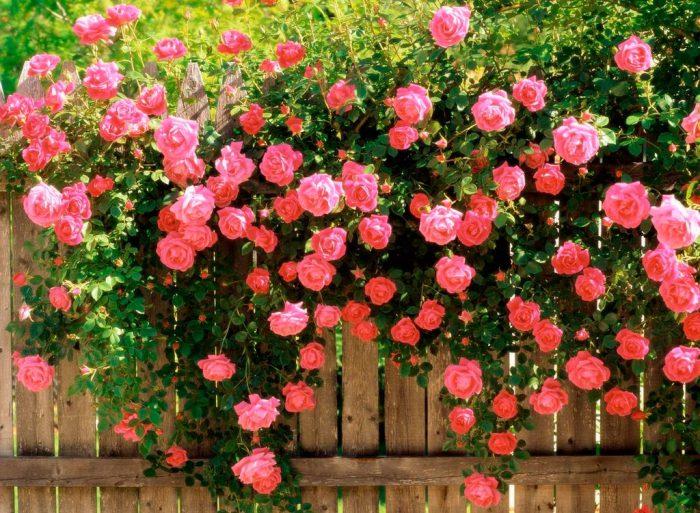 Розы серии «Pagode»
