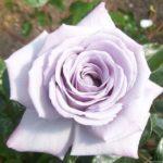Роза Хихо Сильвер (Hi Ho Silver)