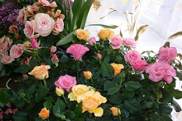 Виды и сорта комнатных роз